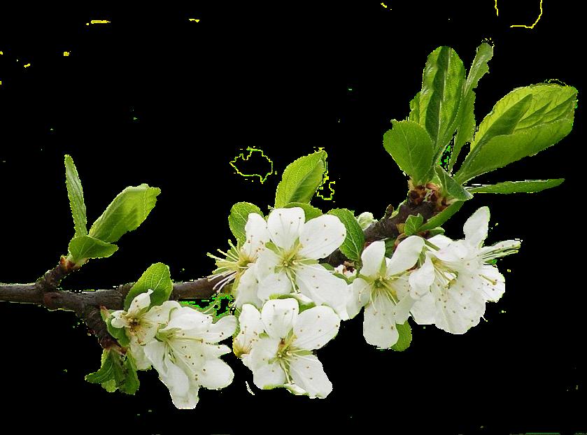Apfelblüt5