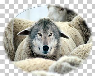 imgbin-wolf-in-sheep-s-clothing-goat-milk-gray-wolf-grow-old-together-eMjirGy5VhyjEaMSN6VrRYgrc_t